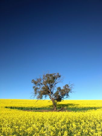 canola: Gum Tree in Canola Field