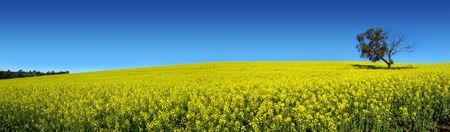 Canola Field in South Australia Stock Photo