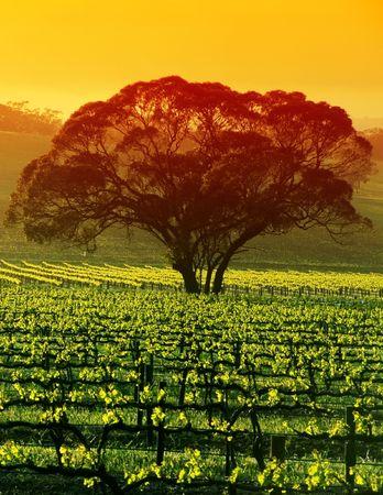 australie landschap: Sunrise over grote boom in de Wijngaard Stockfoto