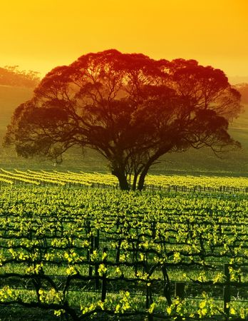 Sunrise over Large Tree in Vineyard photo