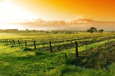 Vineyard in the Barossa Valley photo