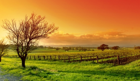 Fresh Vineyard Sunrise Stock Photo