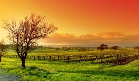 barossa: Fresh Vineyard Sunrise Stock Photo