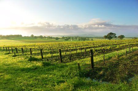 barossa: Vineyard in the Barossa Valley