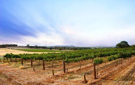 Scenic Vineyard Landscape in South Australia photo