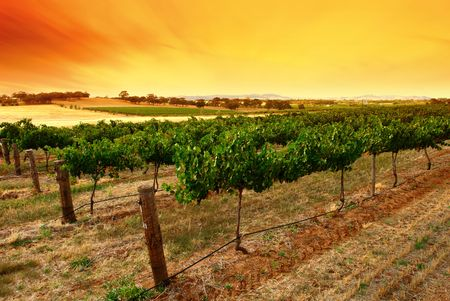Scenic Green Vines at Sunrise Stock Photo
