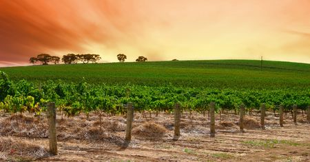 Scenic Vineyard at Sunset photo
