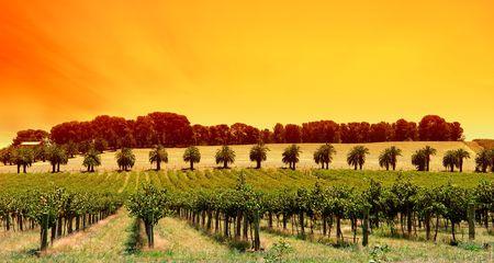 Sun Setting over vines in South Australia photo