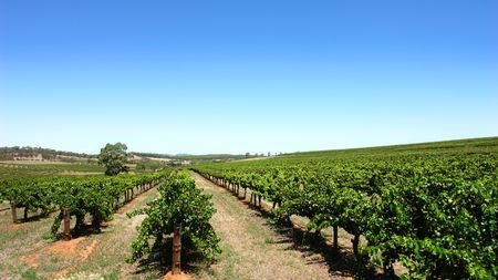 clear day: Scenic Vineyard on a clear day in the Barossa Valley
