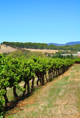 Row of Vines at a Vineyard photo