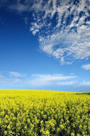 canola: Bright Canola Field