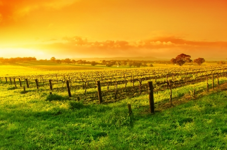 Vineyard in the Barossa Valley photo
