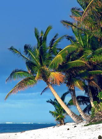 rarotonga: Palm Tree in Rarotonga, nelle Isole Cook Archivio Fotografico
