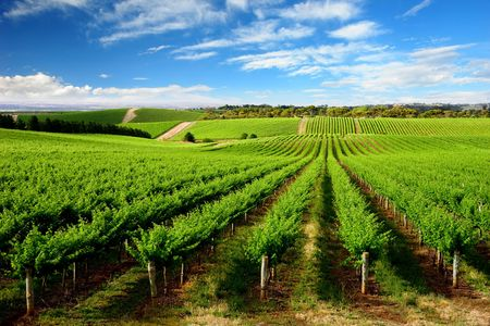 australia farm: Vineyard in One Tree Hill, South Australia Stock Photo