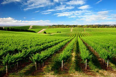 australie landschap: Wijngaard in One Tree Hill, Zuid-Australië Stockfoto