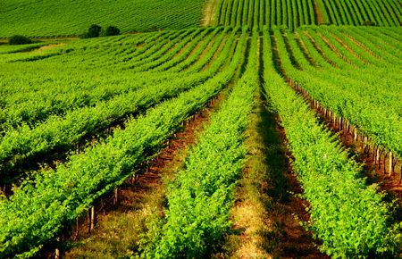 viticulture: Beautiful Vineyard in One Tree Hill, South Australia