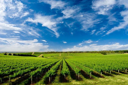 Vineyard at One Tree Hill, South Australia Stock Photo