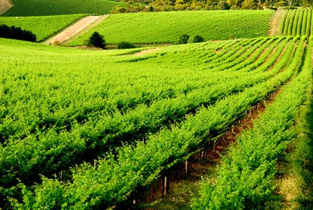 Beautiful Green Vineyard in South Australia Stock Photo