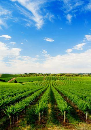 Green Vineyard on Rolling Hills in South Australia