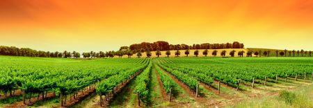 Gorgeous Orange Sky over Green Vineyard photo