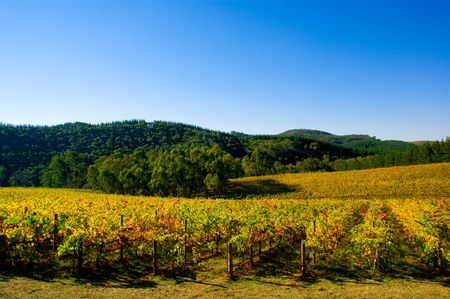 Colourful Vineyard in Autumn Stock Photo - 3094632