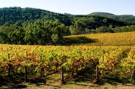Colourful Vineyard in Autumn Stock Photo - 3094646