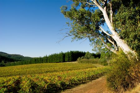 Colourful Vineyard in Autumn next to big gum tree Stock Photo - 3094644