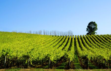 Late afternoon sun baths a scenic vineyard Stock Photo - 3094603