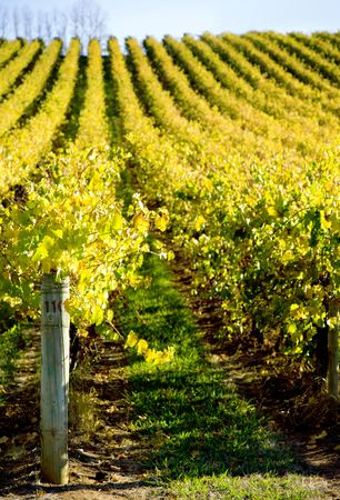 Vineyard with Shallow depth of field photo