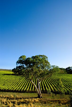 Gorgeous Vineyard with a large gum tree Stock Photo - 3094612
