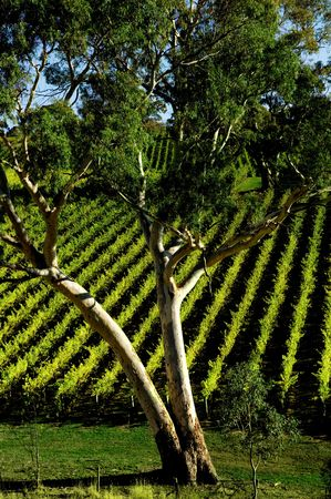 Gum Tree in front of vineyard rows Stock Photo - 3094649