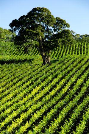 Vineyard Tree Stock Photo - 3099789