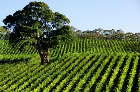 Vineyard Tree Stock Photo - 3099788