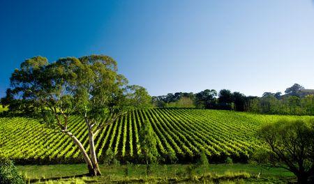 Vineyard Tree Stock Photo - 3099786
