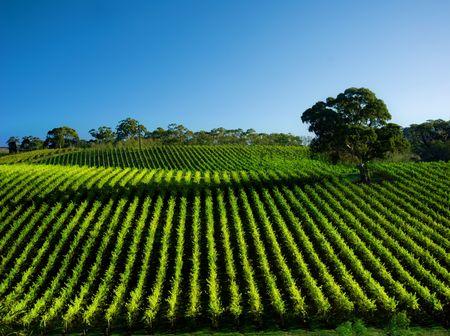 orchards: Beautiful Vineyard Landscape with large gum tree Stock Photo