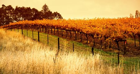 barossa: Orange Vineyard in the Barossa Valley