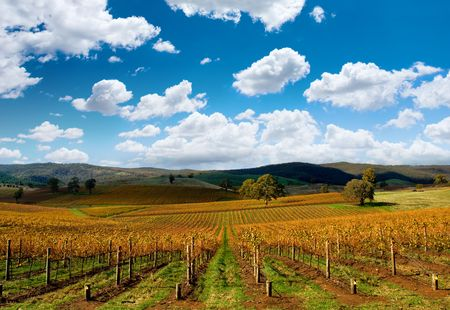 ferment: Beautiful Autumn Vineyard Stock Photo