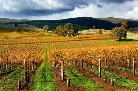 australia farm: Autumn Vineyard on a stormy day Stock Photo