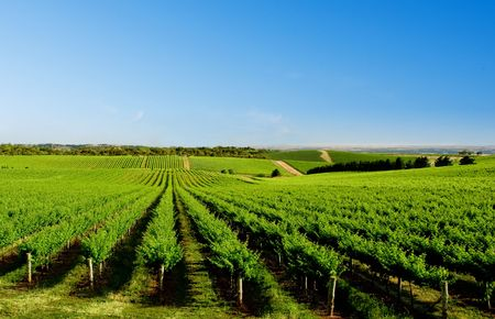 australia farm: Vineyard at One Tree Hill, South Australia Stock Photo