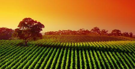 Beautiful Vineyard Landscape with large gum tree Stock Photo