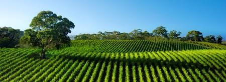 Beautiful Vineyard Panorama with large gum tree photo