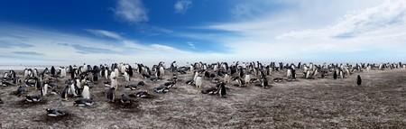 penguin colony: Gentoo Penguin Colony on Sea Lion Island Stock Photo