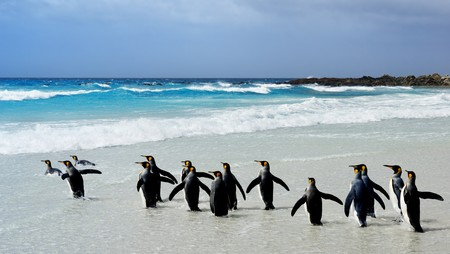 king penguins: King Penguins heading to the water at Volunteer Point, Falkland Islands Stock Photo
