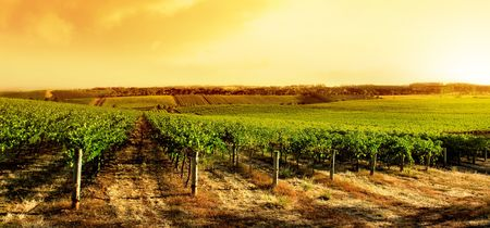 Amazing Vineyard Sunset in South Australia Stock Photo - 4608304