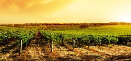 wine country: Amazing Vineyard Sunset in South Australia