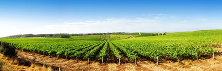Vineyard Panorama in the Adelaide Hills photo