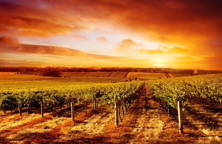 red sunset: Amazing Vineyard Sunset in South Australia