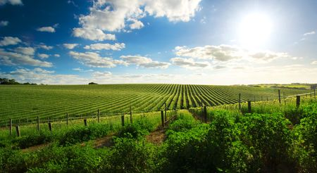 Beautiful Barossa vineyard in the late afternoon photo