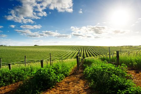 adelaide: Barossa Valley vineyard in the spring