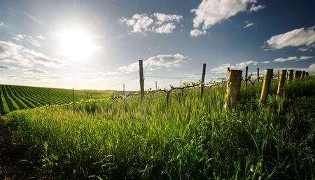 australie landschap: Barossa Valley wijngaard in het voorjaar Stockfoto